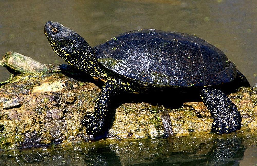 Megtelepedett a mocsári teknős a Pilisi Parkerdő tavaiban