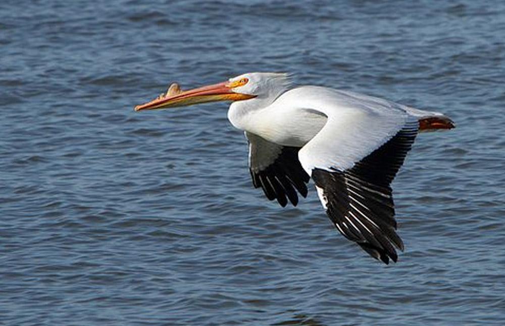 1870 óta nem látott madárfaj a hortobágyi Halastóban