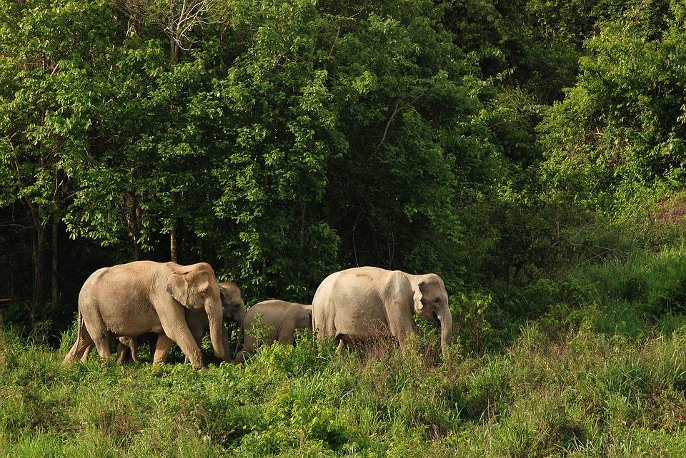 Kétharmadával csökkent az erdei elefántok száma