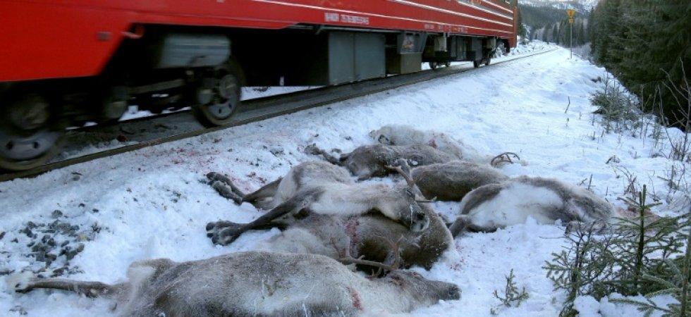 Vérfürdőbe csapott át a rénszarvasok téli vándorlása a száguldó tehervonatok miatt Norvégiában