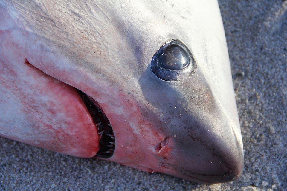 Olyan hideg van, hogy még a cápák is halálra fagynak