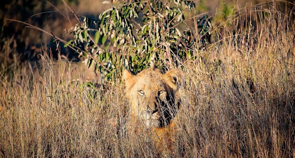 Oroszlánok martak halálra egy orvvadászt Dél-Afrikában