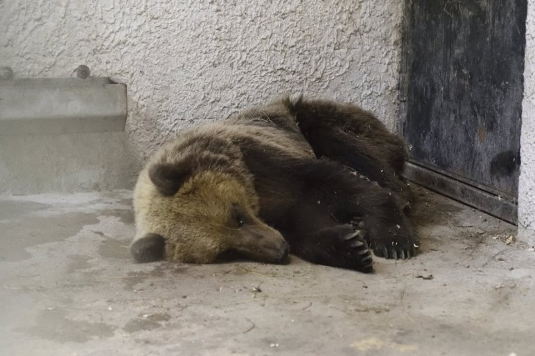 Megszabadult a nyomkövetőtől az elengedett medve