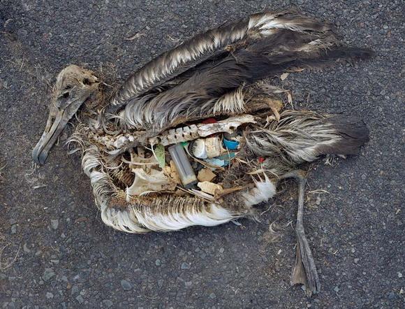 Először mutattak ki műanyag mikroszálakat vadon élő állatok ürülékében