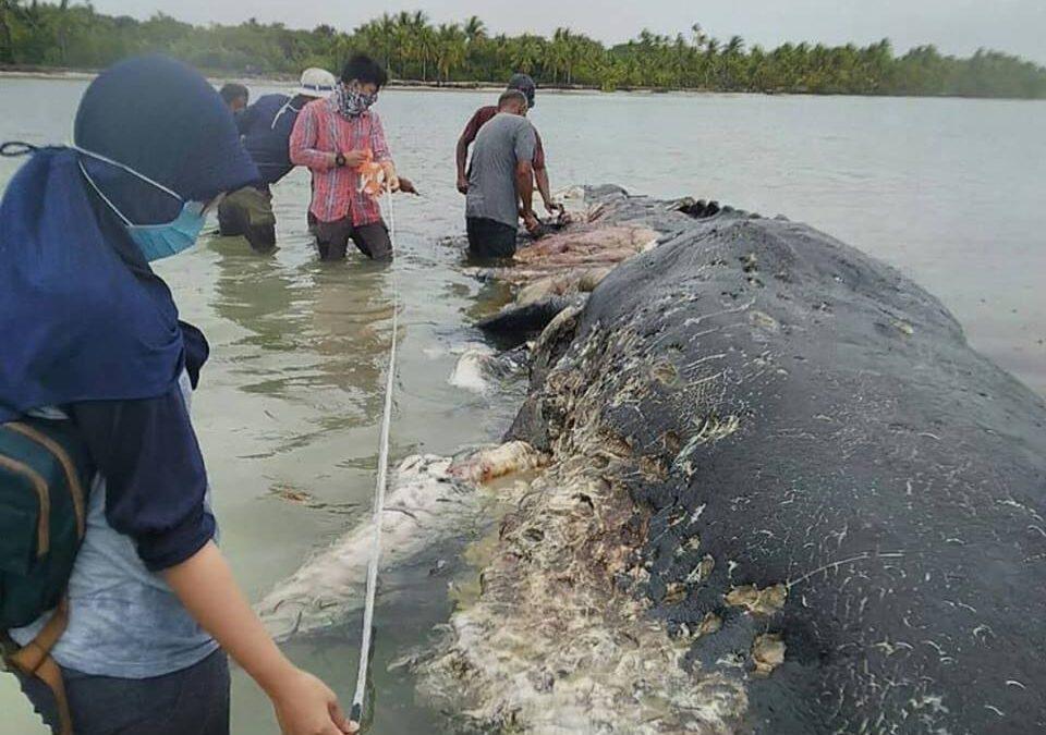 Két strandpapucsot és 115 műanyag poharat vettek ki egy elpusztult bálna gyomrából