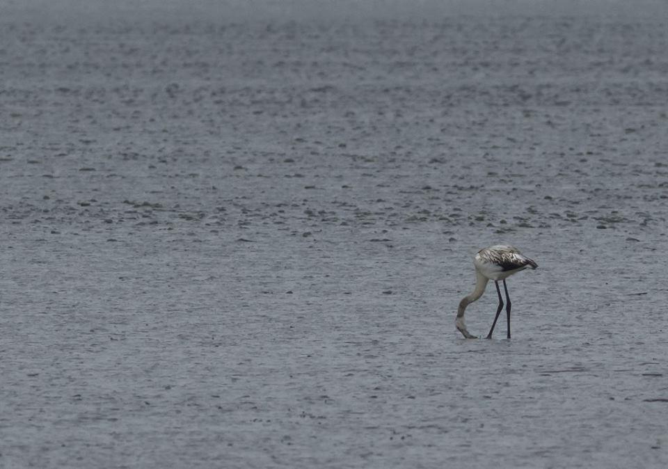 Egy rózsás flamingó vendégeskedik a szegedi Fehér-tavon