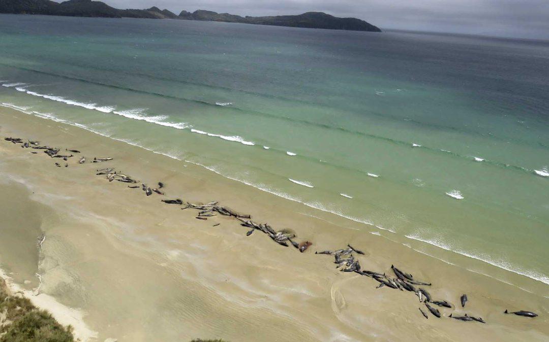 Több mint 140 gömbölyűfejű delfin pusztult el Új-Zéland partjainál