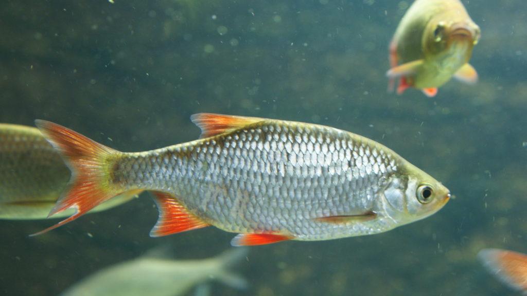 A vörösszárnyú keszeg lett az év hala