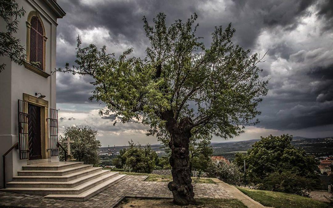 A pécsi havihegyi mandulafa képviseli Magyarországot az Európa fája versenyen