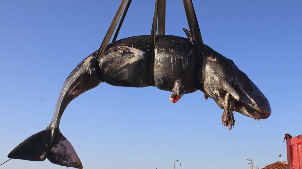 Több mint 20 kiló műanyaghulladékot találtak egy Szardínián partra vetődött bálna gyomrában
